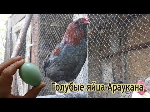 Голубые яйца Араукана
