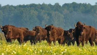 Мир дикой природы. Животные Америки. Бизоны.