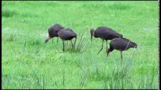 Glossy Ibis (Plegadis falcinellus) (2nd movie) at Horwich, Greater Manchester