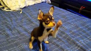 Hershey the chihuahua tricks training - part 2