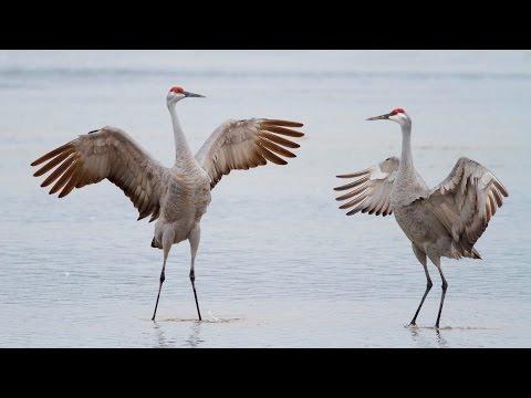 Sandhill Crane Migration, Platte River