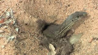Sand Goanna digging a nest.