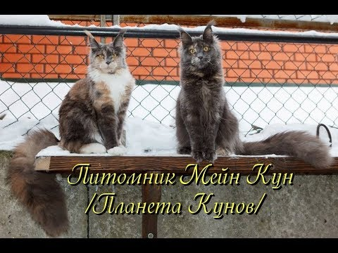 "Котята мейн кун II сезон. ""Lovitven"" online Saint Petersburg ."