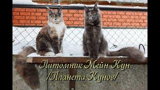 Смотреть котят мейн кун в питомнике | Мейн кун видео | Мейн кун ютуб | Мейн кун кошки видео