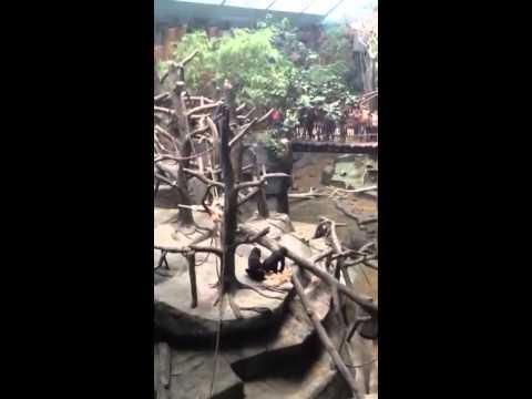 Gorillas Gone Wild