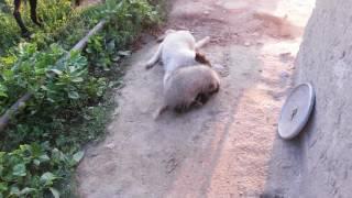 Бои собак с барсуком Боря