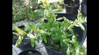 Growing Pomegranates from Seeds: Update Video
