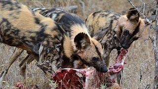 恐ろしい野生の犬の攻撃のコンパイル|野生の犬対ヒョウ、ワニ、インパラ...