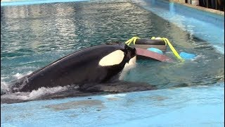 Happy 27th Birthday, Kyuquot! (From Killer Whales: Behind the Scenes at SeaWorld San Antonio)