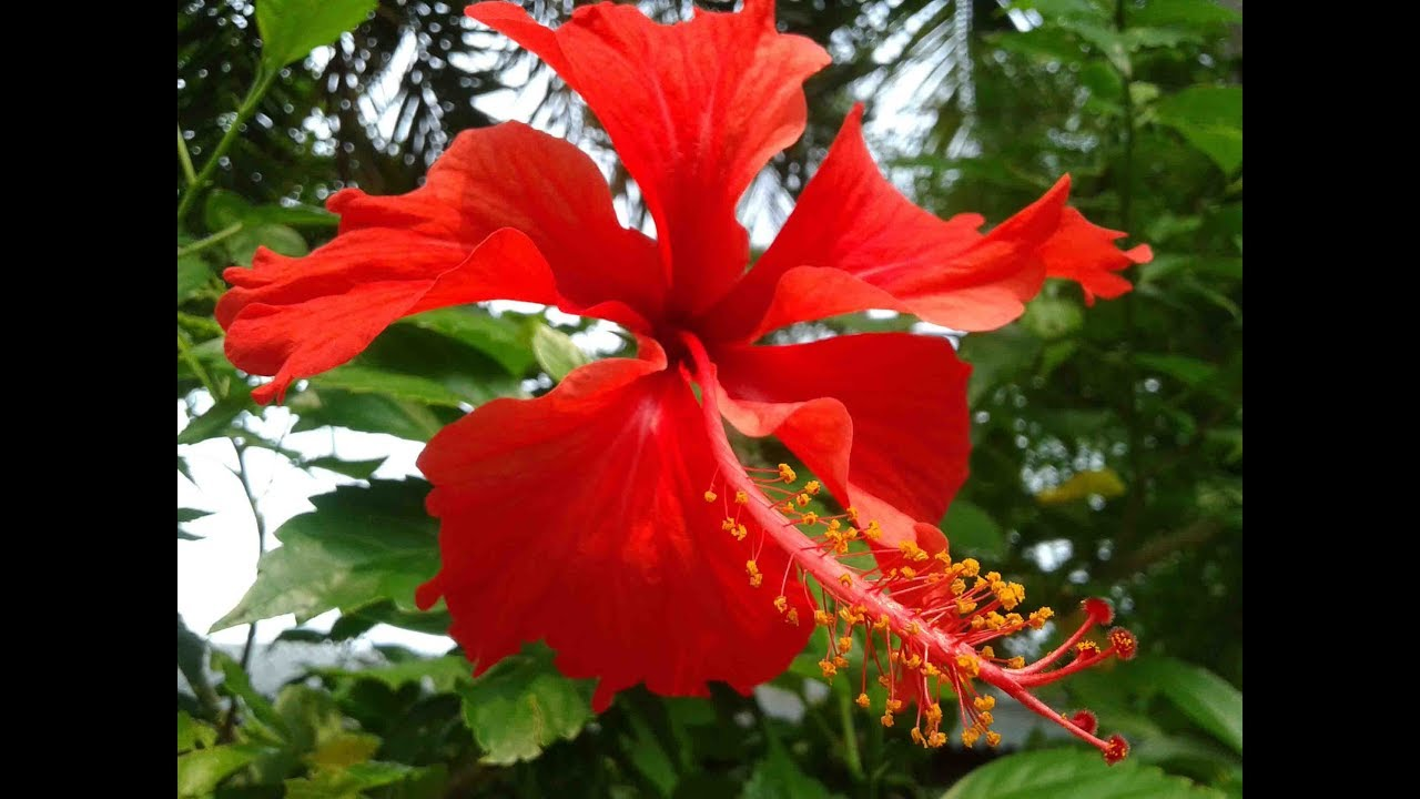 Hibiscus Rosa Sinensis Part 1 Botany Tamil Youtube