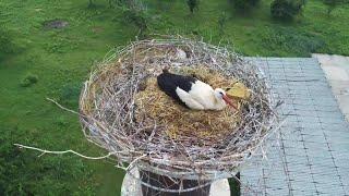 Storchenpaar nistet erstmals in Roßla - Nachwuchs ist geschlüpft