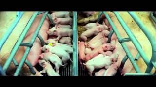 Видео, которое поможет тебе стать вегетарианцем