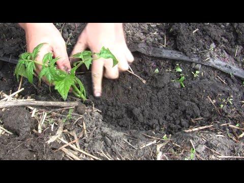 Секреты высадки рассады помидор | помидоры | томатов | рассады | рассаду | рассада | посадки | посадка | помидор | глубина | высадка