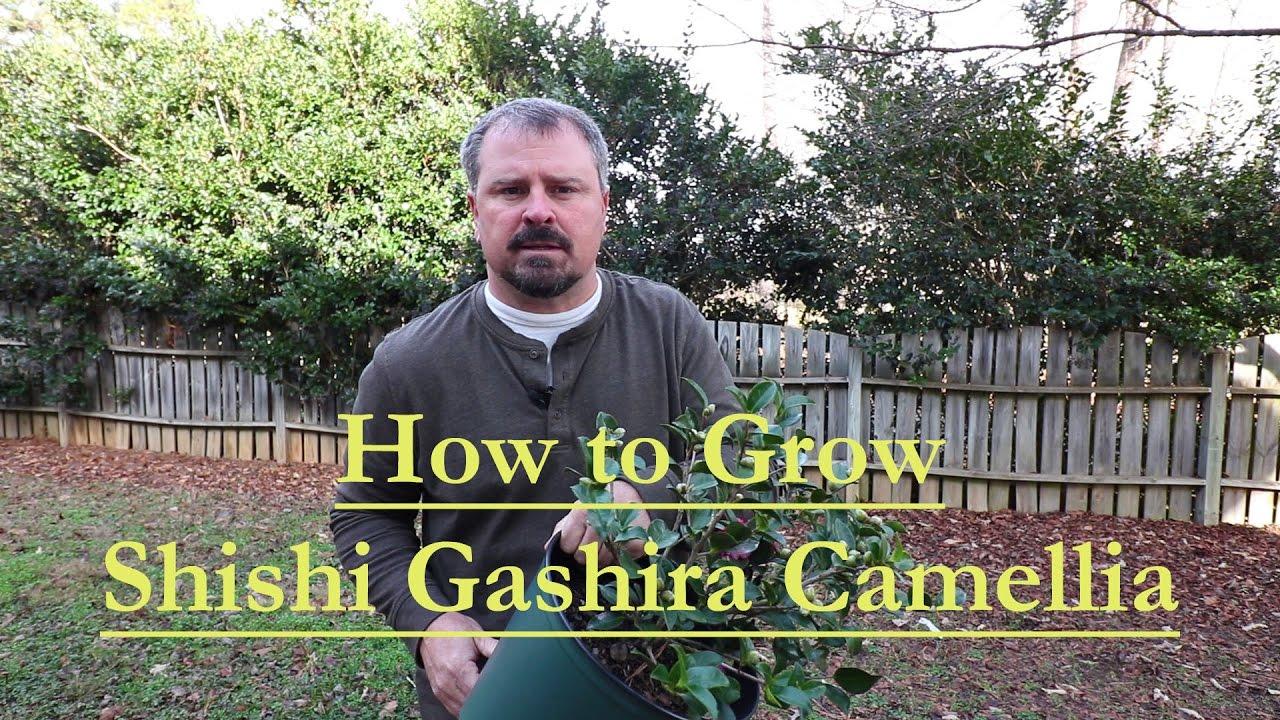 Shishi Gashira Sasanqua Camellia