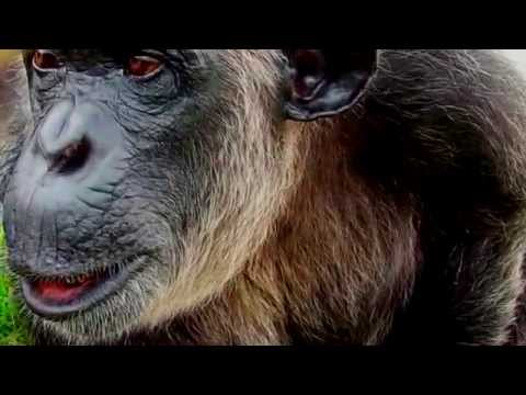 Chimpanzee Video For Palm Beach County Schools
