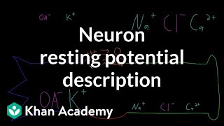 Neuron resting potential description