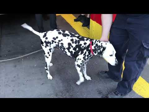 Four-legged smoke eaters: How dalmatians became official mascots of the fire service