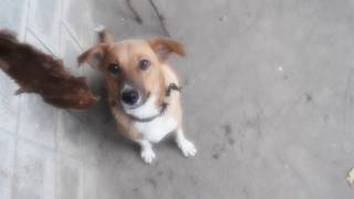 Funny dog videos | Che wants a Snack ASAP | cute dogs | Funny pet videos