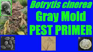 Botrytis cinerea [Gray Mold] #PestPrimer Mini 1: Cryptic Botrytis Species