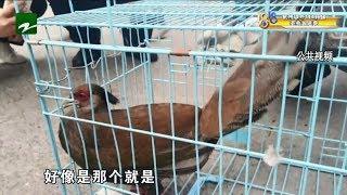 """【1818黄金眼】花坛惊现""""大鸟"""",国家保护动物?"""