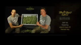 Arjan's Haze #2 - Green House Grow Sessions