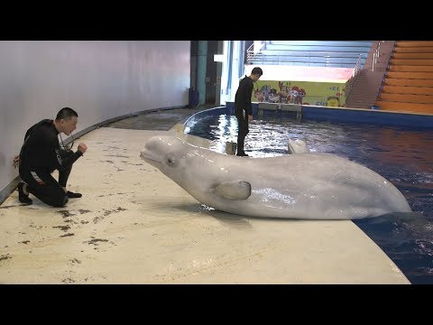 Captive Beluga Whales Head To World's First Open Water Sanctuary   ITV News