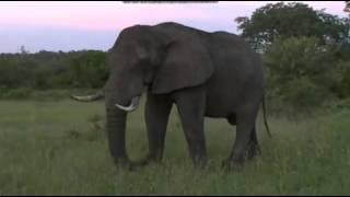 Słoń afrykański na sawannie