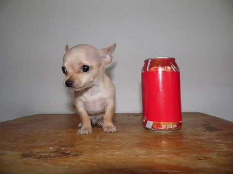 Chihuahua Mini Toy Macho Miel Cabeza De Manzana Youtube