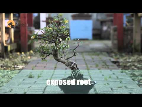 13) Bonsai Trees for Beginners - Bonsai Styles