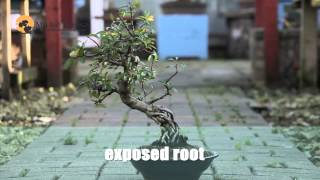 13) Bonsai Trees for Beginners - Bonsai Styles  - Mark D'Cruz,  मार्क बोन्साई