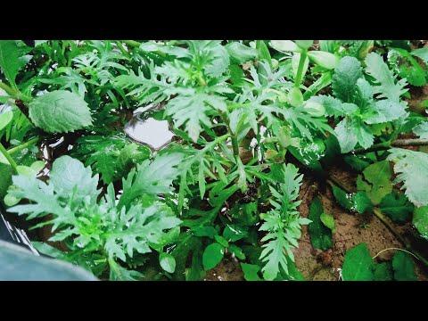 WATER WISTERIA HYGROPHILA DIFFORMIS MAGANDANG PLANTS BA FOR YOUR PLANTED AQUARIUM?