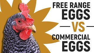 Free Range Eggs Vs Commercial Eggs