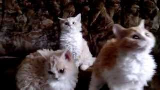 Котята породы Селкирк Рекс