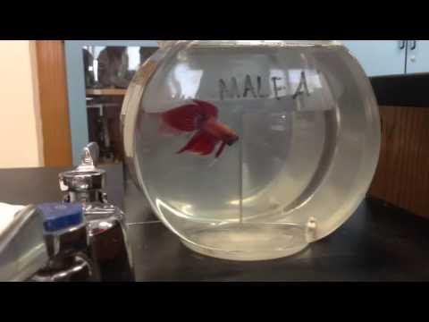 Betta fish b splendor mirror experiment youtube for Betta fish mirror