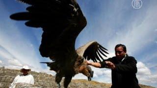 Кондоры в Чили стали загадочно падать на землю (новости)