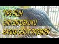 Memilih Ciri Burung Dekuku Bahan Berkarakter Baik  Mp3 - Mp4 Download