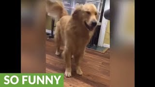 Golden Retriever goes to war with blow dryer