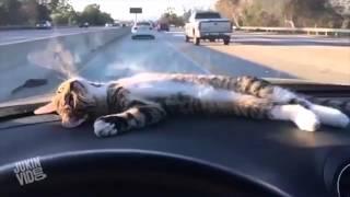 кот в машине поехал  в сочи