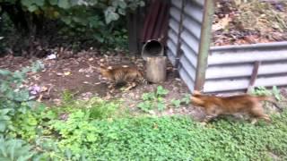 кот и кошка тойгер Веста и Феликс