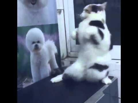 Cat Dances on Hind Legs