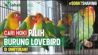 CARI HOKI PILIH BURUNG LOVEBIRD DI OMBYOKAN
