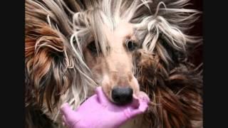 Все породы собак.Афган (Афганская борзая) (Afghan Hound)
