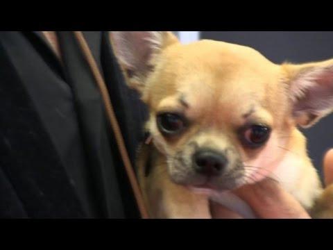 Eu0027 Un Miniscolo Chihuahua Il Cucciolo Più Bello Du0027Italia