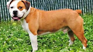 Doogan The English Bull Dog/beagle Mix Boy Ahs Tinton Falls, N.j., May 24, 2012