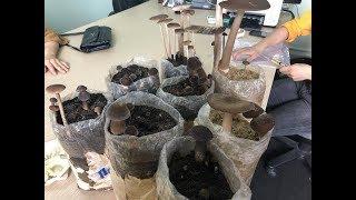 Bán Phôi Nấm mối đen trồng tại nhà - .Học trồng Nấm mối đen