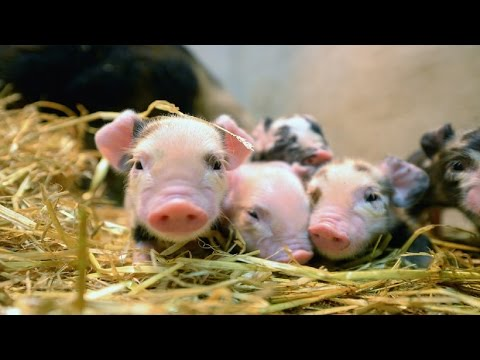 Genetically engineered micropigs to be sold as pets