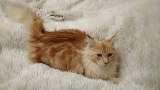 Жизнь кота Сильвестра (порода Мейн кун - полтора года на момент съемки)