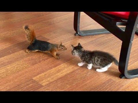 Sincaplar mı daha zekidir yoksa kediler mi?