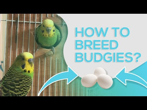 HOW TO BREED BUDGIES - 10 STEPS FOR SUCCESSFUL BREEDING