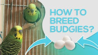 HOW TO BREED BUDĠIES - 10 STEPS FOR SUCCESSFUL BREEDING